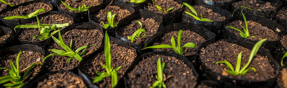 Pineapple seedlings go back over 90 generations to the premium smooth cayenne cultivars developed in Hawaii.